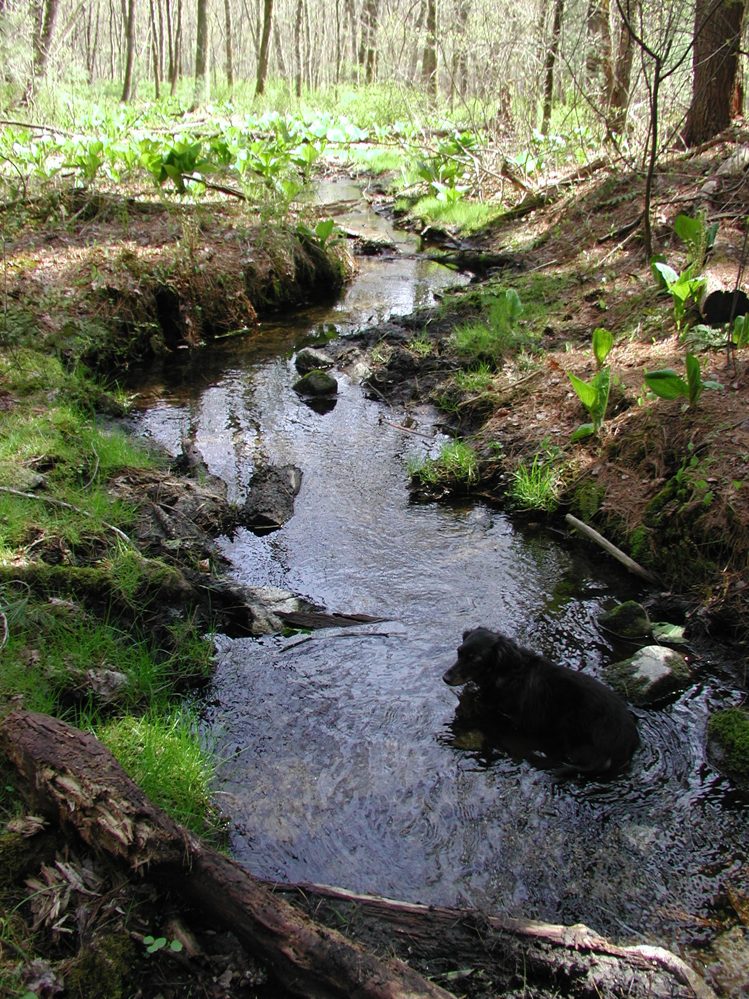 Dog Wades in Town Forest Stream